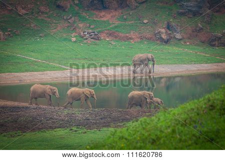 African Elephant Herd Drinking At Water's Edge In South Africa