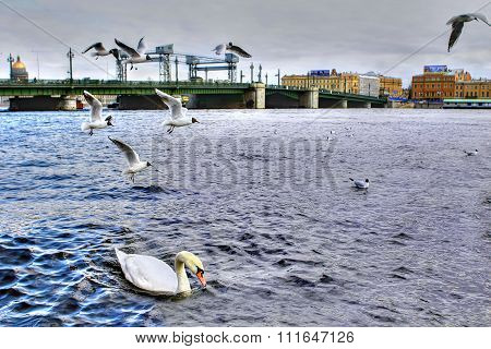 Single White Mute Swan Swims In River City, Saint-petersburg, Russia.