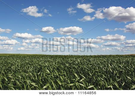 Field of corn on sunny day