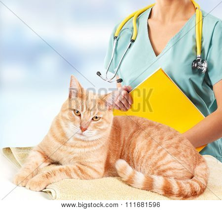 Ginger cat and a vet physician in  veterinary clinic. poster