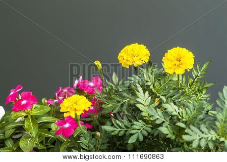 Marigold And Busy Lizzie Plant Flower