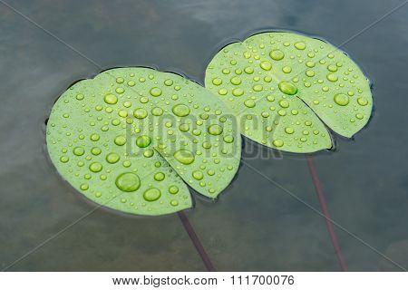 Drops Lotus Leaf