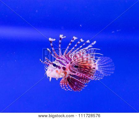 Common lionfish yawn Pterois miles