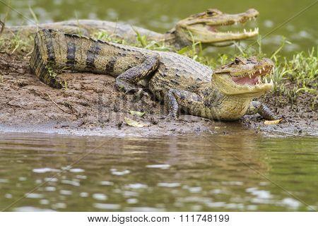 Two Caymans (caiman Crocodilus Fuscus)