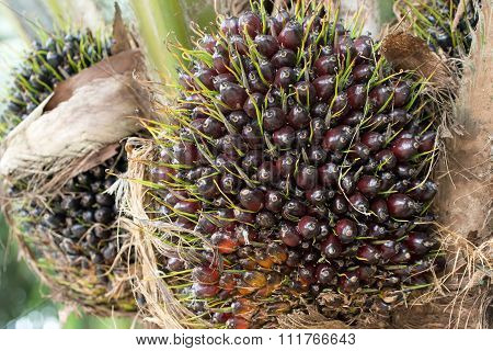Oil Palm On Tree