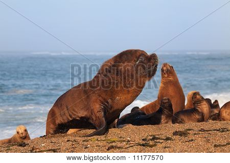 Seal and South American sea lion at the coast from Peninsula Valdes  **Note: best at smaller sizes, has some grain. poster