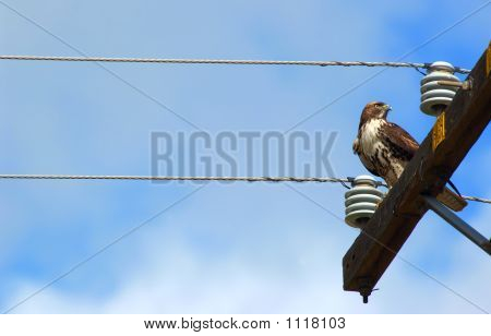 a hawk on a power pole with blue sky poster