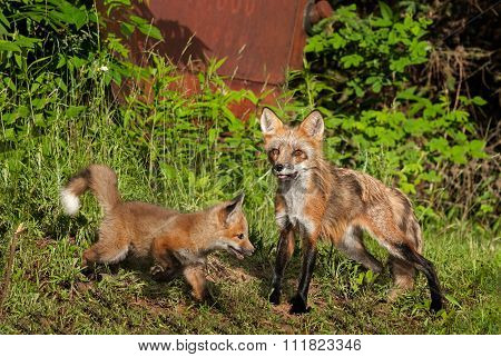 Red Fox Vixen (vulpes Vulpes) With Kit Near Old Truck