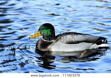 Mallard. Male duck. Drake.
