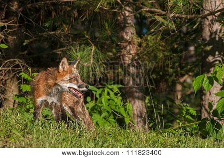 Red Fox Vixen (vulpes Vulpes) On Edge Of Woods