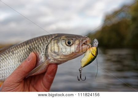 Chub in fisherman's hand, lure design altered