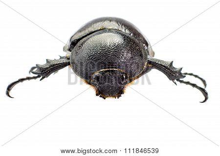 Beetle,rhinoceros Beetle, Rhino Beetle, Hercules Beetle, Unicorn Beetle