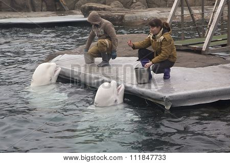 Trainers feed the two belugas. Moscow Zoo.