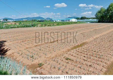 Growing Green Onion Beds In The Field In Korean Countryside