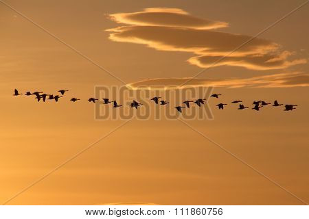 Flock of Canada Geese heading south, migrating in the glow of the winter sun, with clouds