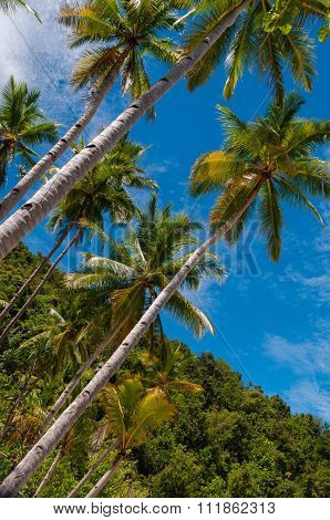 Very Tall Palm Trees by the beach and under bright blue sky in Raja Ampat