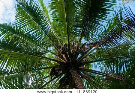Fresh Coconuts on a green Palm Tree