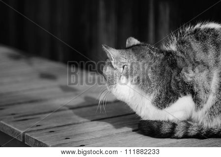 Old Chubby Cat Look Back And Ignore Photographer Black And White High Key