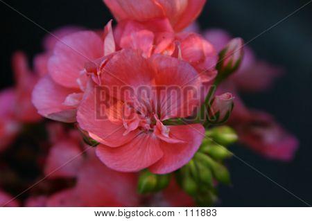Peach Geranium