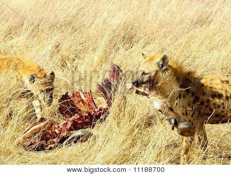 Gefleckte hyaenas