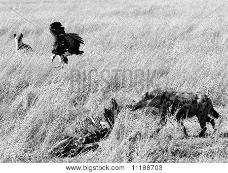 Volture und Gefleckte Hyaenas In schwarz und weiß