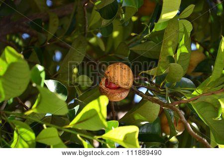 Colorful Photo Of Nutmeg Fruit On The Tree