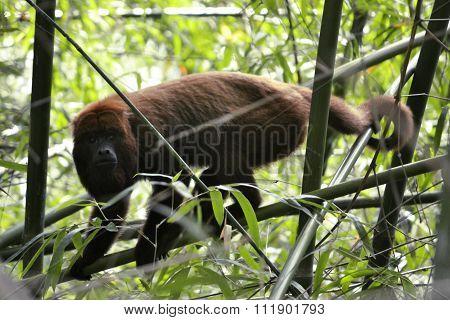Monkey - Alouatta Caraya . Monte Alegre do Sul - Sao Paulo - Brazil. 17 December 2015. On Nature poster