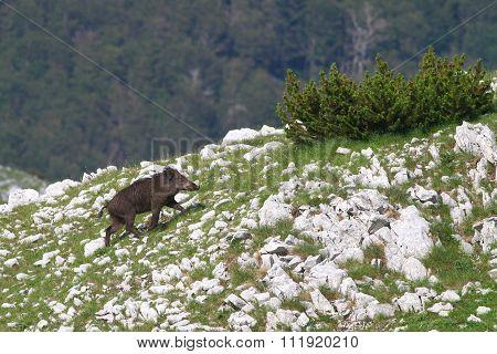 Wild Boar Running On Rocky Mountain