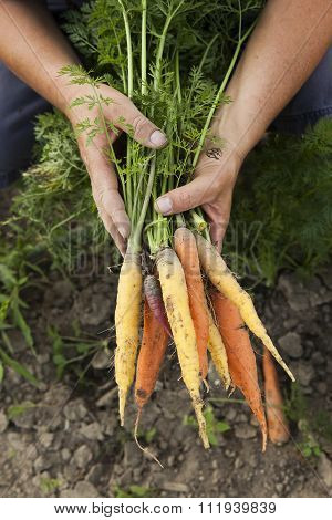 Harvesting Multicolored Heirloom Carrots