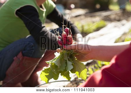 Two people picking radishes on the farm