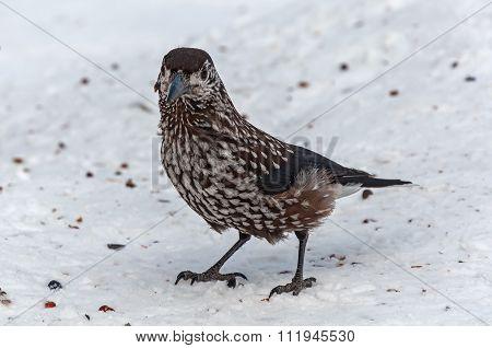 Nutcracker Bird Snow Cedar