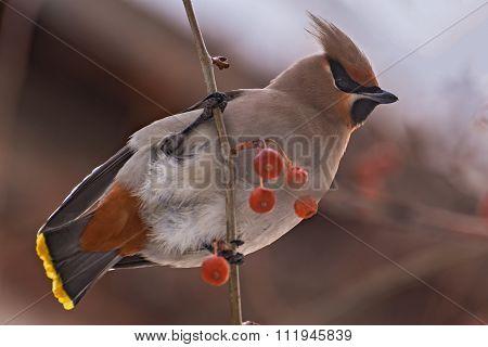Waxwing Bird Apple Branch