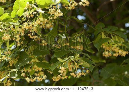 Linden Tree