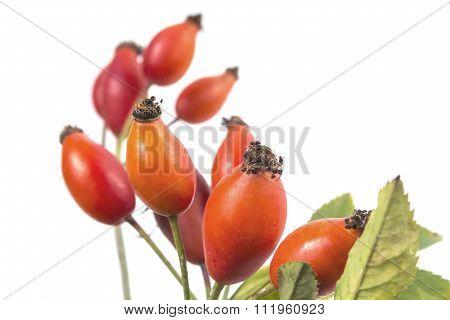 Dog rose branch, rose hips