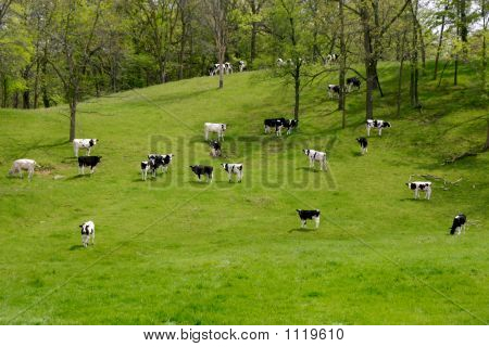 Dairy Cattle On The Hillside