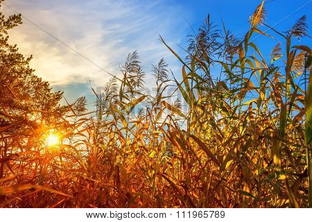 Red autumn sunset through the coastal reed (Phragmites australis). Russia, Siberia, Novosibirsk region poster