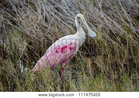 Roseate Spoonbill Wading In A Florida Marsh