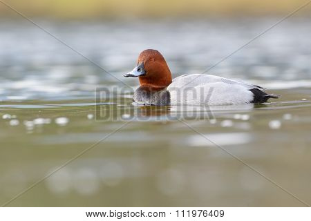Common pochard in water