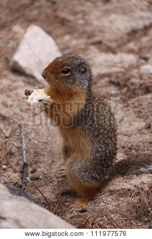 Marmot has a snack