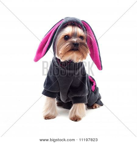 Cute Yorkshire Terrier In Rabbit Suit