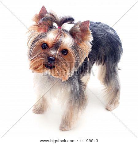 Little Yorkshire Terrier