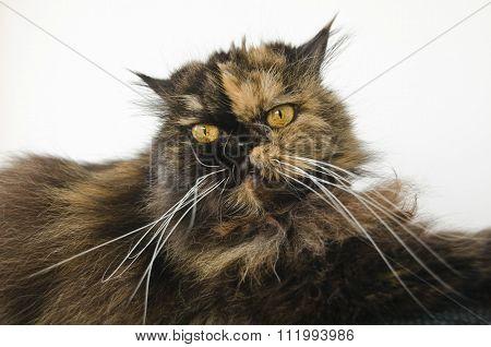 grumpy scruffy yellow eyed cat staring into the camera