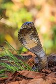 close up Monocellate Cobra (Naja kaouthia) in forest poster
