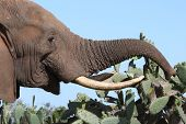 African elephant eating juicy green leaves from a cactus or prickly pear bush poster