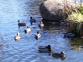 several ducks swim in the afternoon sunlight near some rocks and reeds at a pond. poster
