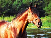 bay trakehner stallion in the river outdoor evening sunset sunny poster