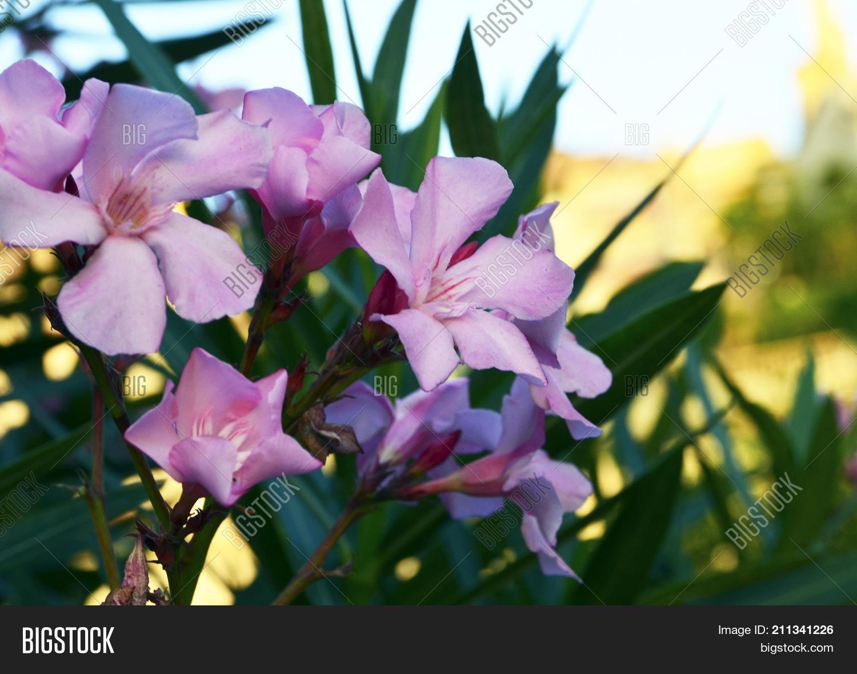 Pink oleander flowers image photo free trial bigstock pink oleander flowers oleander nerium in tropical garden of tenerifecanary islands mightylinksfo