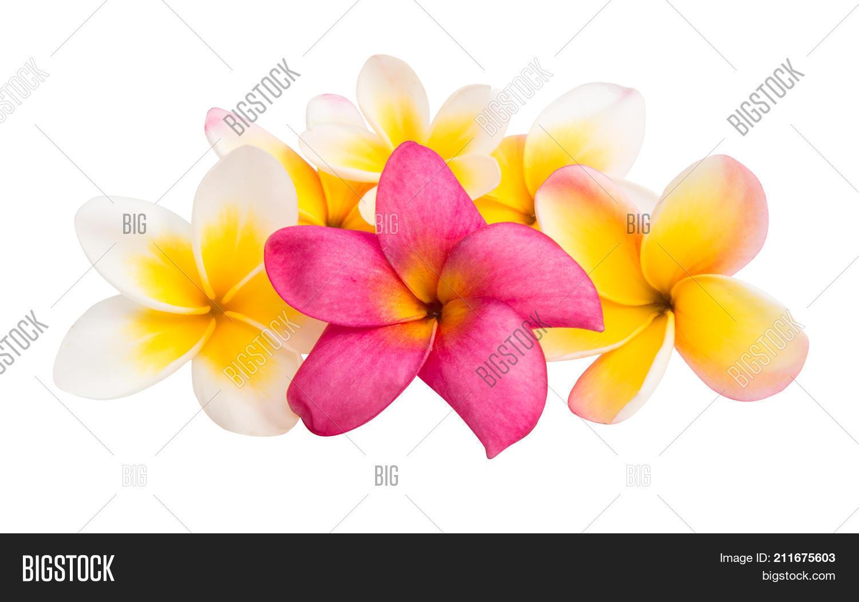 Frangipani beautiful exotic flower image photo bigstock frangipani beautiful exotic flower isolated white background izmirmasajfo