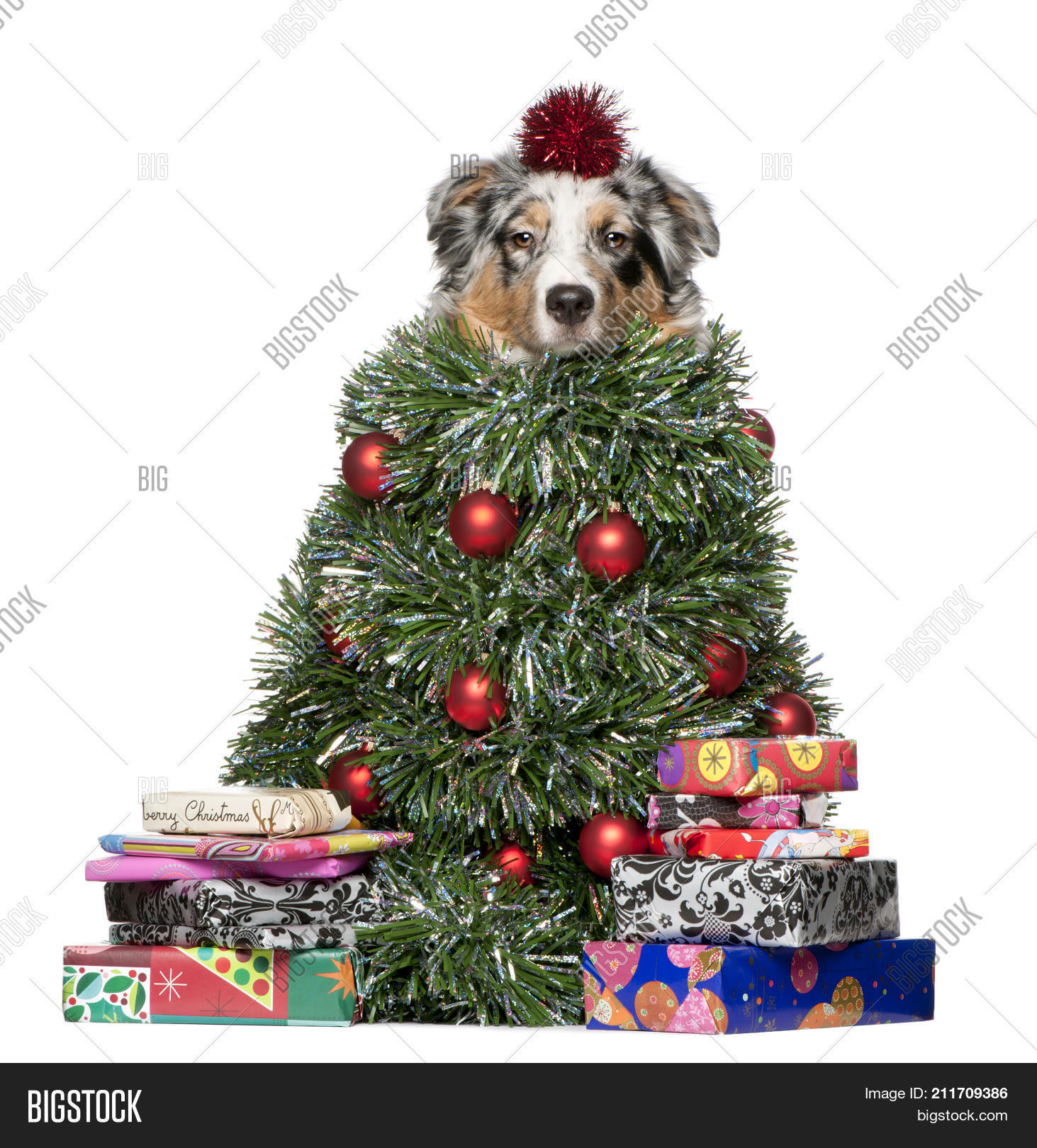 australian shepherd dog dressed as christmas tree 7 months old in front of white