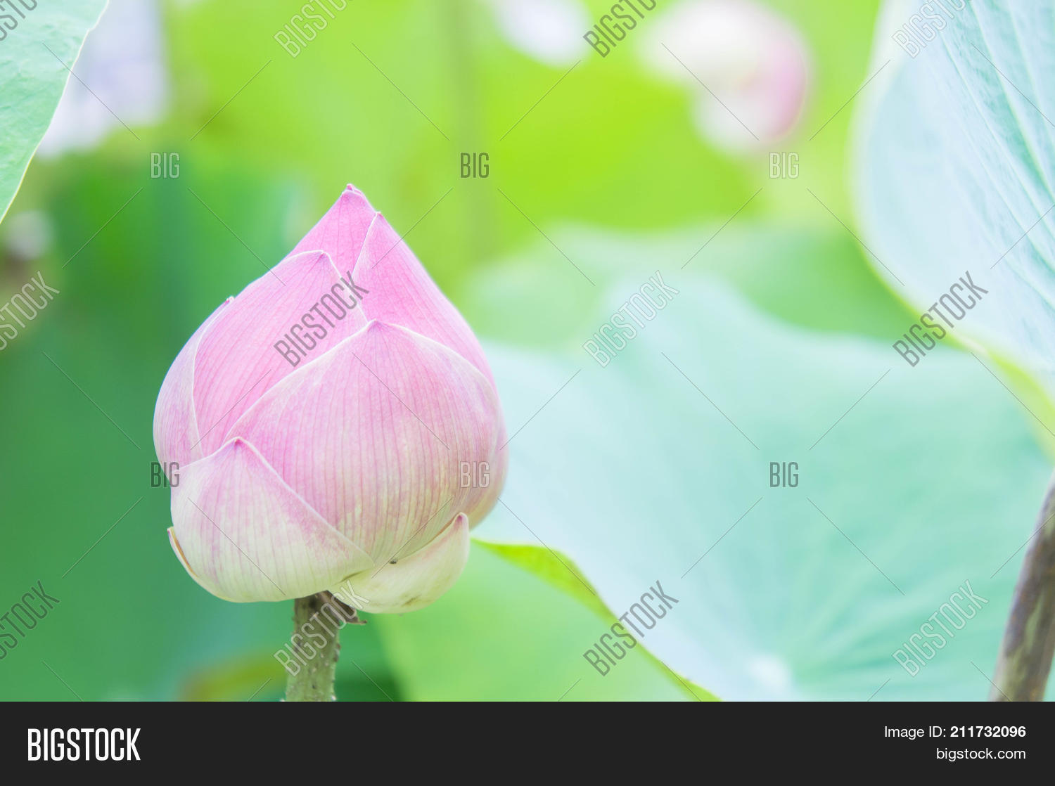 Natural Lotus Flower Image Photo Free Trial Bigstock